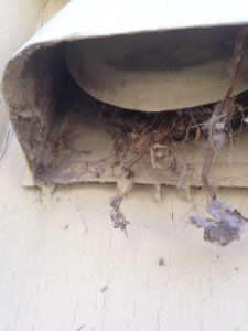 squirrel nest in dryer vent wall transition